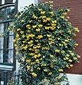 Jelängerjelieber, Lonicera per. Belgica Select, 1 Pflanze von Dominik Gartenparadies auf Du und dein Garten