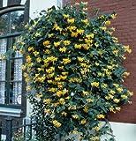 Jelängerjelieber. Lonicera per. Belgica Select. 1 Pflanze - zu dem Artikel bekommen Sie gratis ein Paar Handschuhe für die Gartenarbeit dazu