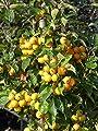 """annas-garten Pflanze, Zierapfel""""Golden Hornet"""", 6 L Topf, 60-80 cm Pflanzenhöhe, grün, 110 x 35 x 35 cm, 39987 von AMZN bei Du und dein Garten"""