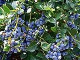 #8: Azalea Garden Rare Bush Blueberry Fruit, 1 Healthy Plant