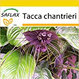SAFLAX - Anzucht Set - Fledermausblume - 10 Samen -