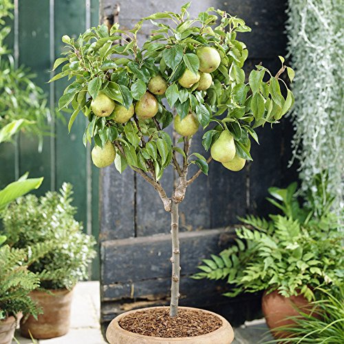 garden-pearl-pear-patio-fruit-tree-in-a-75l-pot