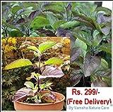 #6: LIVE Krishna Tulsi Plant with Pot
