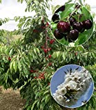 BALDUR-Garten Selbstfruchtende Süßkirsche'Swing', 1 Pflanze Kirschbaum winterhart