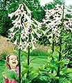 BALDUR-Garten Riesen-Lilie Himalaya,1 Knolle Cardiocrinum giganteum von Baldur-Garten bei Du und dein Garten