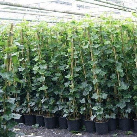 edera-hedera-hibernica-175-200-cm-rampicanti-sempreverdi-pianta-rampicante-edera-pianta-adulta-100-d