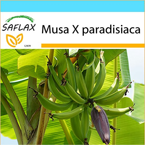 SAFLAX - Geschenk Set - Große Essbanane - 10 Samen - Musa X paradisiaca