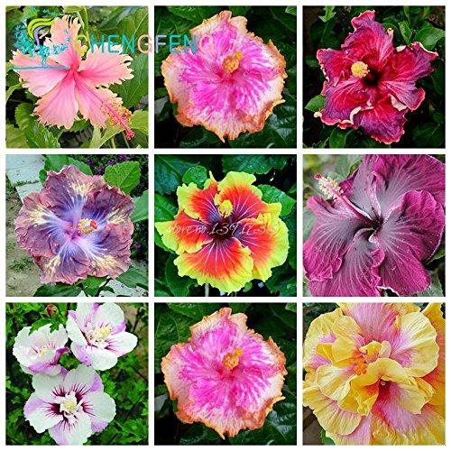 Auf Verkauf. 200Stück HIBISKUS Samen 24Arten Chinesischer Roseneibisch Blumensamen Hibiskus Baum Samen für Blumen Topfpflanzen - violett -