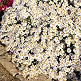 Grüner Garten Shop Staude Aster dumosus - Kissenaster, weiße Blüte, 5 Stauden im Set, je im 0,5 Liter Topf