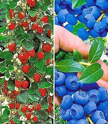 BALDUR-Garten Beeren-Kollektion,4 Pflanzen von Baldur-Garten - Du und dein Garten