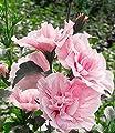 BALDUR-Garten Gefüllter Hibiskus Chiffon pink 1 Pflanze Hibiscus syriacus winterhart von Baldur-Garten bei Du und dein Garten