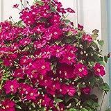 Dominik Blumen und Pflanzen, Waldrebe, Clematis