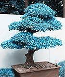 50 PC Rare Blau Maple Samen Bonsai-Baum-Pflanzen-Topf-Klage für DIY Hausgarten Japanischer Ahorn-Samen Balkonpflanzen Kostenloser Versand