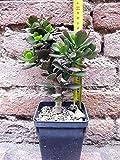 Crassula portulacea 20 cm, cactus, pianta grassa