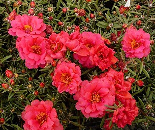 Blumensamen Moos-Rose Makrova Rot (Portulakröschen) Jahr