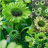 AIMADO Neue Nette entzückende Blumen wohlriechende Blüte Weiße Lotos Sonnenblumensamen