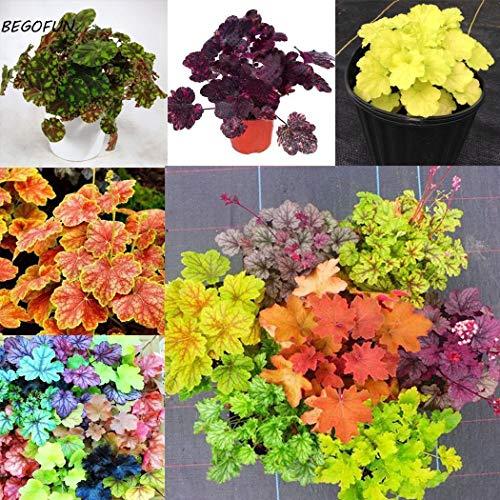 Portal Cool Rosa: B716 10Pcs / Bag mehrjährige Kräuter Dicentra Pflanze blutendes Herz Samen kreativ (Blutendes Herz)