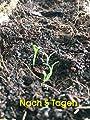 Stevia zum selber pflanzen/frisches Saatgut/ca. 100 Samen/der natürliche Zuckerersatz/für Garten oder zur Aussaat im Kräutertopf von Samenquelle.de auf Du und dein Garten