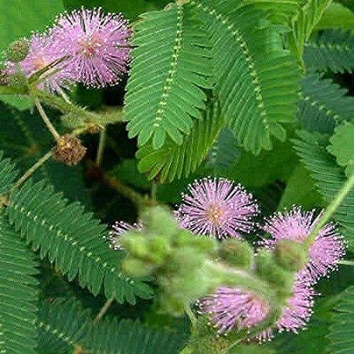 Mimosa pudica- sensitive 200 graines