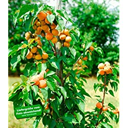 "BALDUR-Garten Säulen-Aprikose""Armi Col®"",1 Pflanze Aprikosenbaum Prunus armeniaca winterhart"