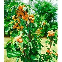 Suchergebnis Auf Amazonde Für Aprikosenbaum