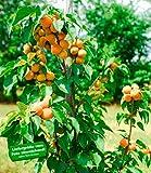 BALDUR-Garten Säulen-Aprikose'Armi Col',1 Pflanze Aprikosenbaum Prunus armeniaca winterhart