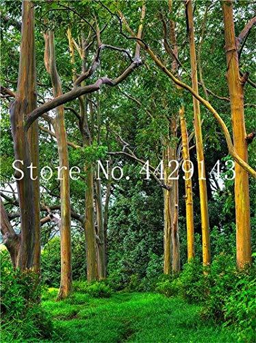 Shopmeeko Graines: 2018 Vente Hawaï arc-en-Eucalyptus, 50 Pcs 100% véritable arbre d'ornement exotiques Bonsai croissance naturelle Maison Ornements de jardin: 4