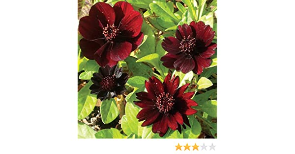 Chocolate Cosmos Flowering Scented Summer Bulb//Root  x1 WPC Prins Quality