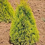 Heckenkonifere Thuja occ. 'Golden Smaragd'®, 60/80 cm, 3 Pflanzen im Set, je im 5 l Topf