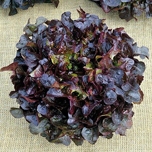 Eichblattsalat rot resistent