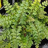 PACK OF 3 Polystichum Makinoi Fern in 9cm Pot - Hardy Fern - Evergreen Ferns Plants