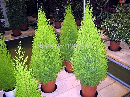 venta caliente 50pcs cipreses Platycladus orientalis semillas arborvitae oriental de coníferas semillas...