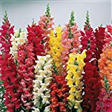 National Gardens Baby Snapdragon Flower Seeds (Pack of 100)
