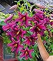 """BALDUR-Garten Tree-Lily® """"Purple Prince"""" 3 Knollen Baumlilien bis zu 2 Meter hoch von Baldur-Garten auf Du und dein Garten"""
