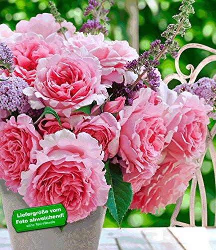 BALDUR-Garten Delbard Kletter-Rose Bienvenue® 1 Pflanze Duftrose Kletterpflanze winterhart