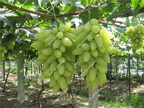 Bonsai Finger de pépins de raisin délicieux pot organique plante pour les plantes ornementales Maison et jardin Can comestible sain Fruit semences 60 Pcs 6