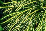 Carex Evergold - gelbgrüne Garten-Segge im Topf 11cm - in Gärtnerqualität von Blumen Eber