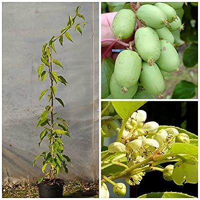 Kiwi 2er Set: 1 weibl. Bayernkiwi und 1 männl. Bayern Kiwi als Befruchterpflanze von Grüner Garten Shop auf Du und dein Garten