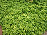 Bodendecker Pachysandra terminalis 100 St.
