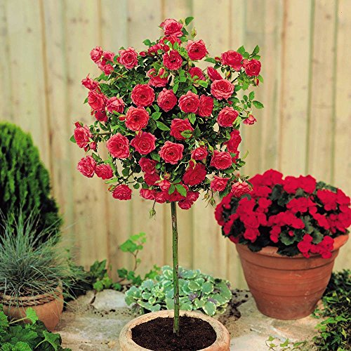 Rosier standard Meillandina rouge - 1 rose