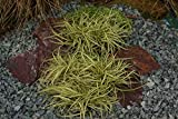 Japansegge ( Carex hachijoensis EVERGOLD )