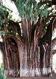 TROPICA - Montezuma Zypresse (Taxodium mucronatum) - 60 Samen