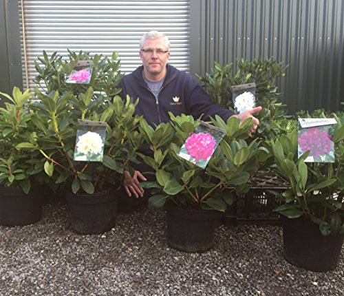 rhododendron-hybrid-marcel-menard-large-specimen-supplied-in-a-10-litre-pot