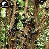 PLAT FIRM KEIM SEEDS: 30pcs: Kaufen Jabuticaba Fruchtsamen Pflanze Baum Trauben Für chinesische Jabuticaba