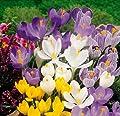 30 Zwiebel Großblumige Krokusse, Mischung, 8/9, von Amazon.de Pflanzenservice bei Du und dein Garten