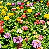 Sperli Blumensamen Zinnien dahlienblütige Mischung, grün