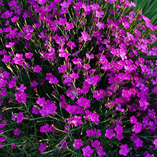 Müllers Grüner Garten Shop Heidenelke Nelke Dianthus deltoides `Brillant`duftende leuchtend rote Blüte Staude im 0,5 Liter Topf