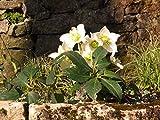 3 Stk. Helleborus niger - (Christrose- Schneerose- Weihnachtsrose)- Topfware Pflanzenbedarf: 3-4 pro m²