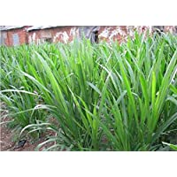 Asklepios-seeds® – 50 Semillas d