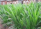 Asklepios-seeds® - 250 Samen Pennisetum purpureum, Elefantengras, Napiergras, Ugandagras bis zu 6m hoch